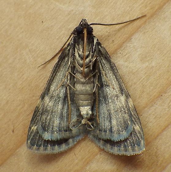 Erebidae: Idia lubricalis - Idia lubricalis