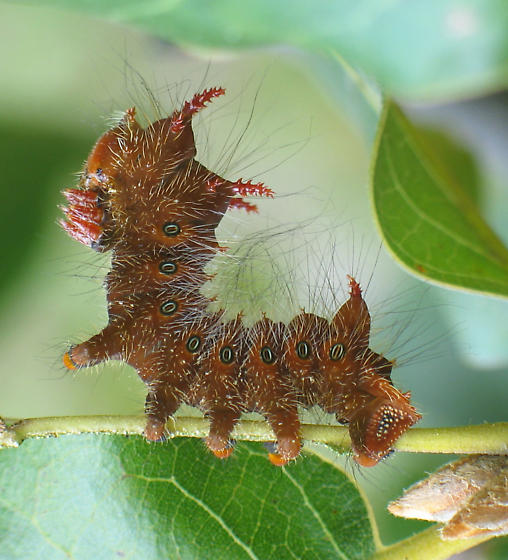 Imperial Moth Caterpillar - Eacles imperialis