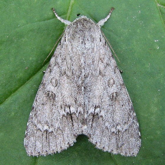 An Acronicta sp. - Acronicta americana