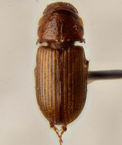 Small brown scarab.... - Platytomus