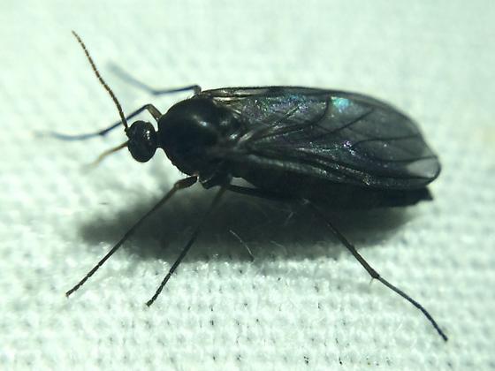 Big black nematoceran