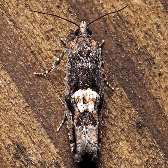 Chimoptesis gerulae