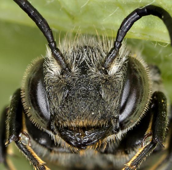 Cuckoo Leafcutter Bee - Coelioxys porterae - female