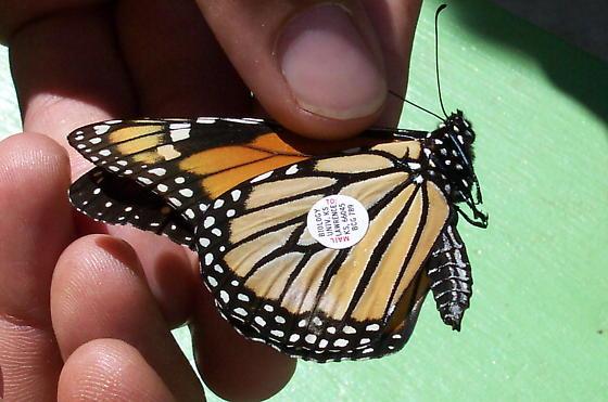 Monarch with tag - Danaus plexippus