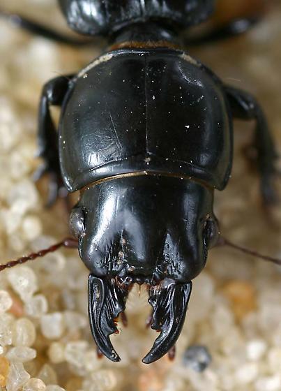 Portrait of a Pendunculate Ground Beetle - Scarites subterraneus