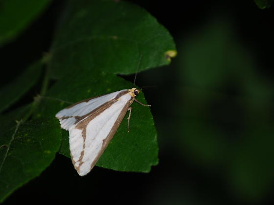 Arrowhead-shaped Moth (?) - Haploa lecontei