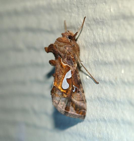 Noctuid - Megalographa biloba