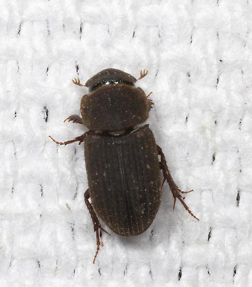 Allen Acres Aphodiine Arthropod - Ataenius imbricatus