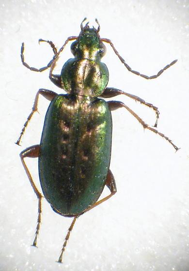 Ground Beetle (Agonum octopunctatum?) - Agonum octopunctatum