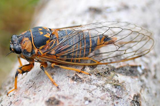 Cicada species in Kouchibouguac National Park - Okanagana rimosa