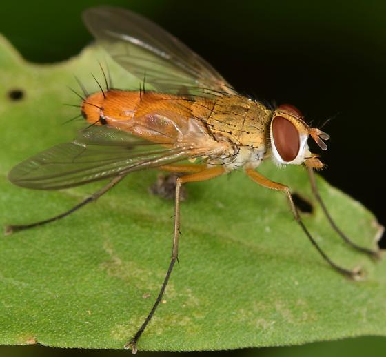 Orange Fly - Leskia - male