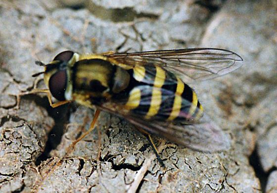 unknown Syrphidae - Syrphus - female