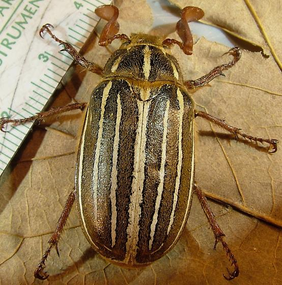 Polyphylla - Lined June Beetle - Polyphylla - male