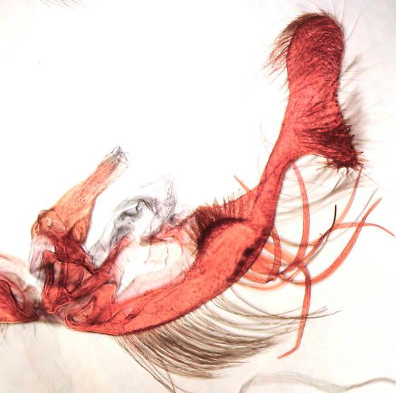 Proteoteras naracana - male