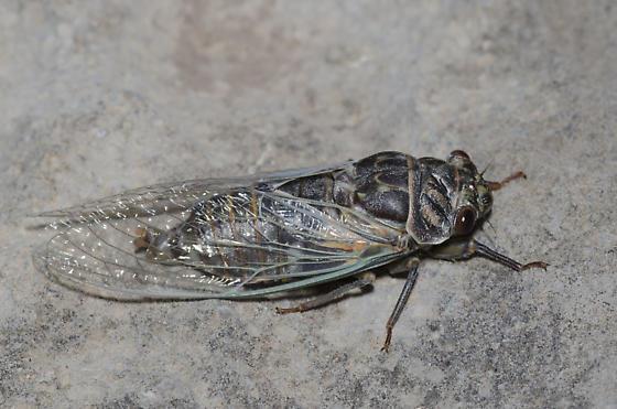 Western Annual Cicada - Hadoa duryi