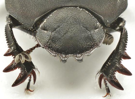 1004W01 - Melanocanthon nigricornis