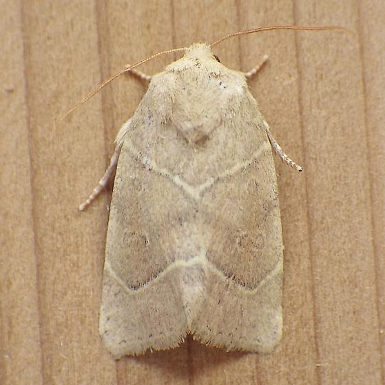 Noctuidae: Cosmia calami - Cosmia calami