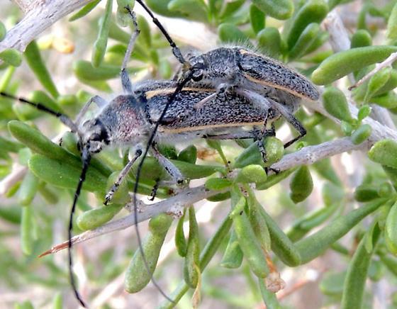 Pair feeding on Lycium Leaves - Schizax senex - male - female