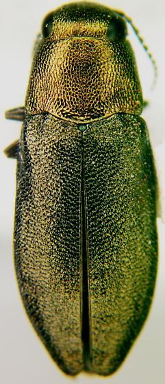 Phaenops aeneola (Melsheimer) - Phaenops aeneola