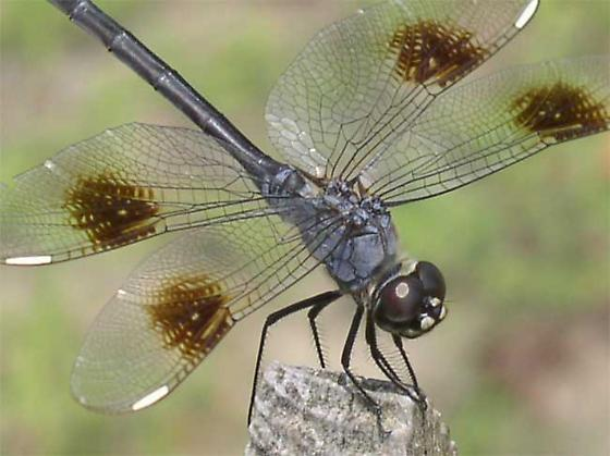 4 Spotted Pennant  - Brachymesia gravida - male