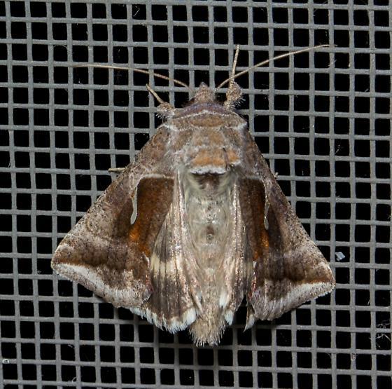 owlet moth - Anagrapha falcifera