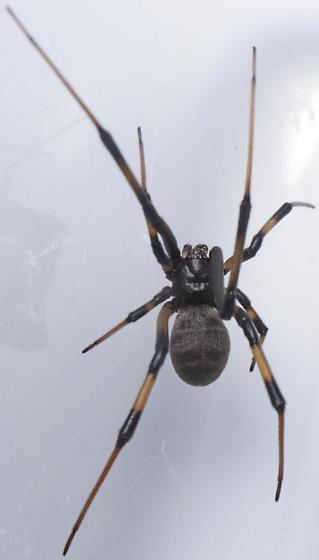 Black color variation - Latrodectus geometricus - female
