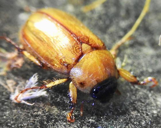 June Bug - Cyclocephala