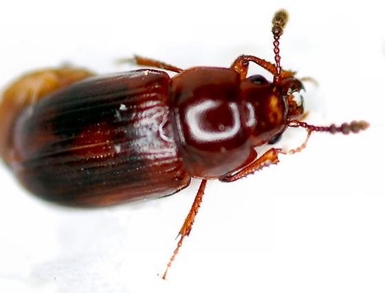 Beetle - Macrohydnobius matthewsii