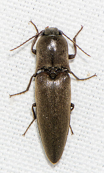 Elater ID request - Orthostethus infuscatus