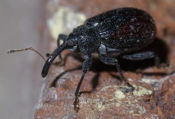 Black and red weevil - Anthonomus