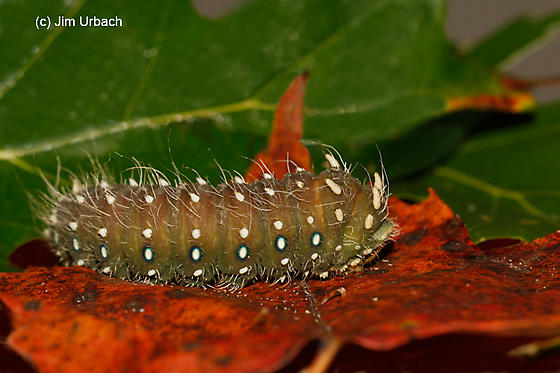 caterpillar - Eacles imperialis