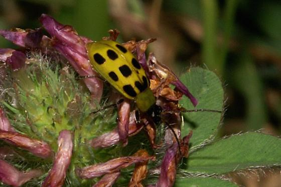 Spotted Cucumber Beetle For Illinois In July - Diabrotica undecimpunctata