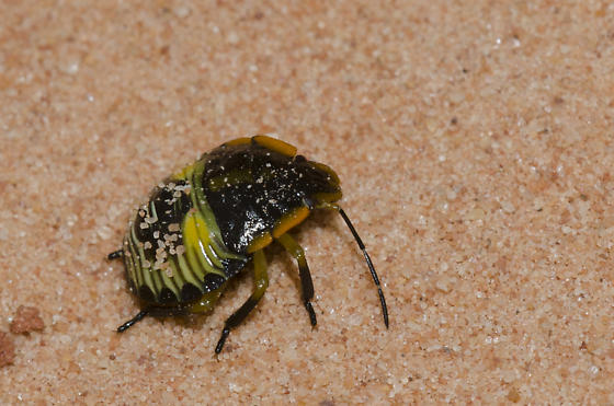 Green Stink Bug prey dropped by sand wasp - Chinavia hilaris