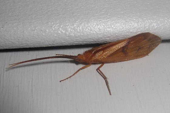 Caddisfly - Pycnopsyche