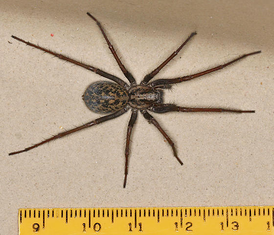 Giant house spider size