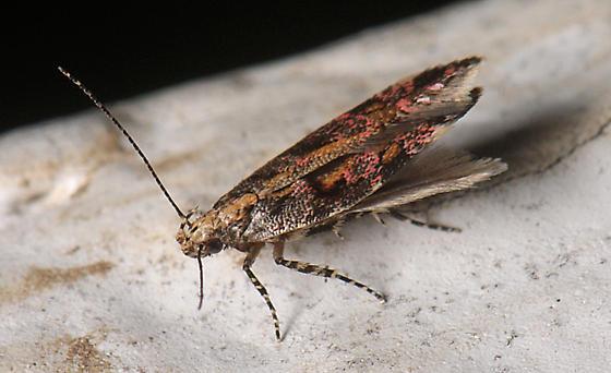 Micro Moth - Aristotelia rubidella
