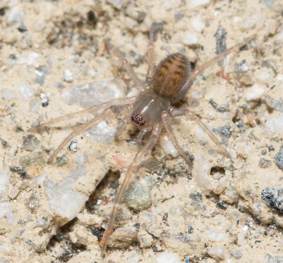 spider - Metaltella simoni