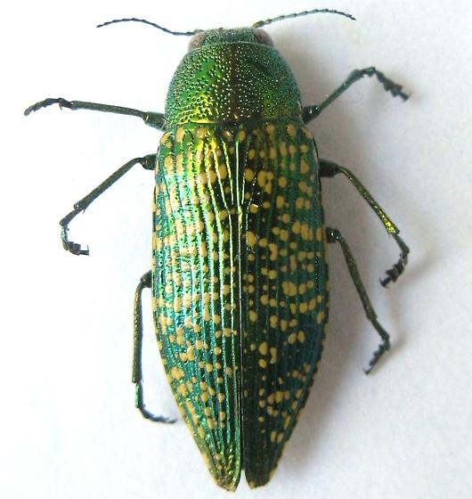 Yellow Spotted Jewel Beetle - Buprestis confluenta