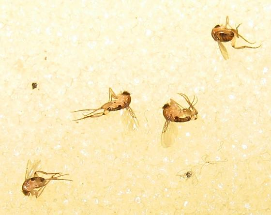 Parasitic Phorid Flies?