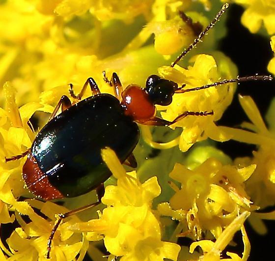 Lebia viridipennis ? - Lebia viridipennis