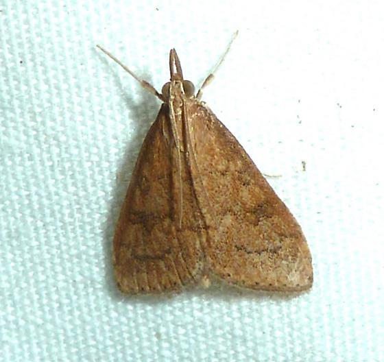 Celery Leaftier Moth - Udea rubigalis