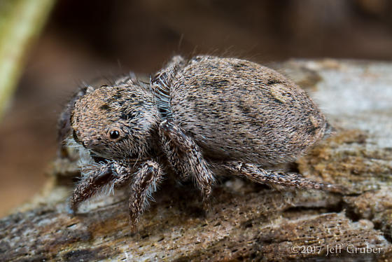 Salticid - Habronattus coecatus - female