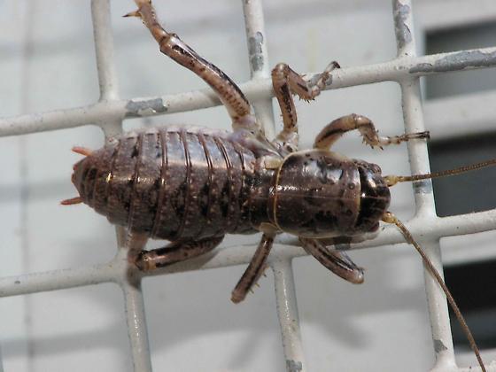 wood louse? - Cyphoderris monstrosa - female