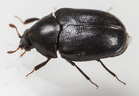 Beetle - Orphilus ater