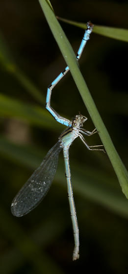 Damsel with two bodies?? - Enallagma - female
