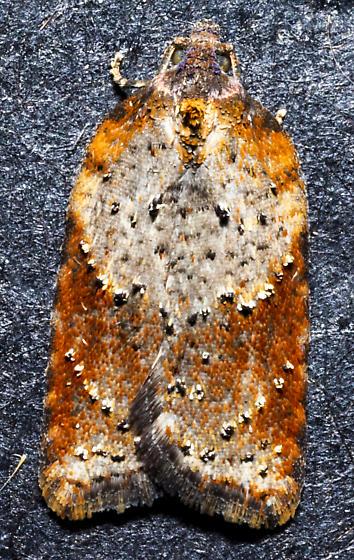Acleris schalleriana - Acleris viburnana