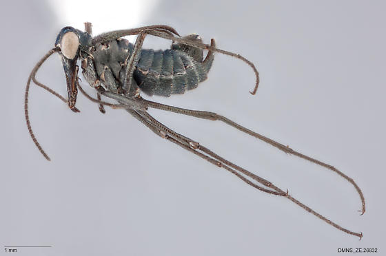 Boreus_sp._ZE.26832 - Boreus coloradensis - male