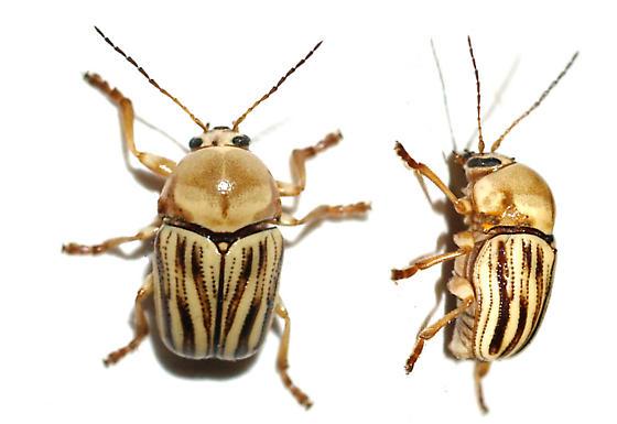 Chryptocephalus on Sage - Cryptocephalus andrewsi