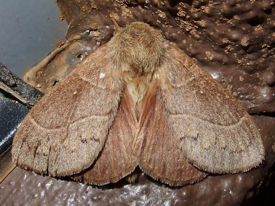 Dicogaster coronada or Gloveria? - Dicogaster coronada - male