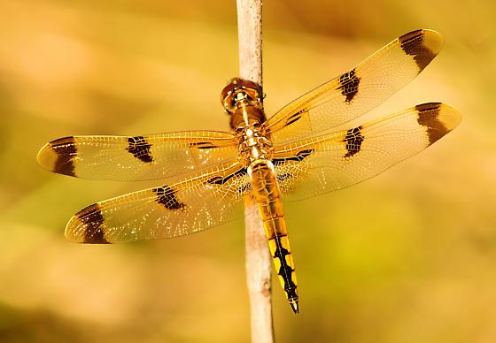 Painted Skimmer (Libellula semifasciata)? - Libellula semifasciata - male